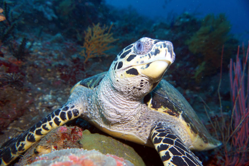 tulamben-turtle