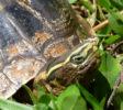 Klappbrustschildkröte Cuora Amboinensis