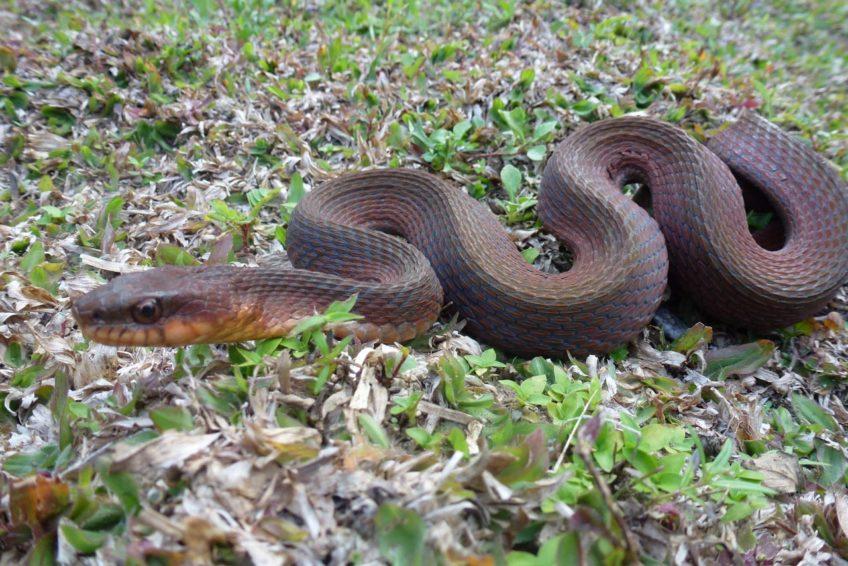 Braune Wasserschlange im Regenwald in Nord-Sulawesi
