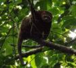Bärenkuskus Ailurops ursinus