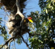 Helmhornvogel Aceros cassidix