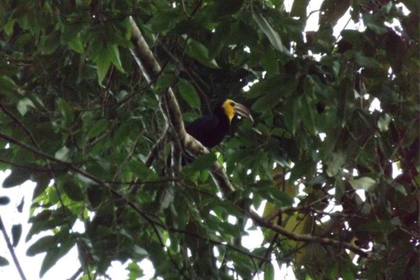 Sulawesi Hornvogel Penelopides exarhatus