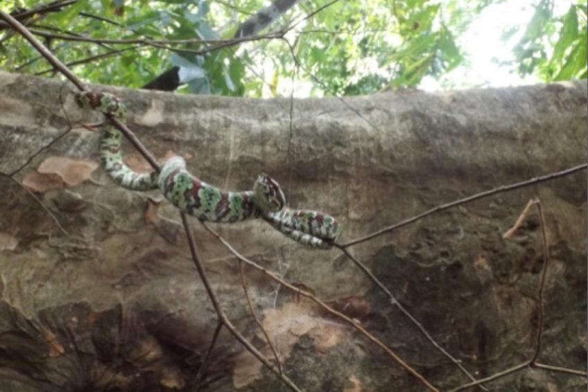 Sulawesi Tempelviper Tropidolaemus laticinctus