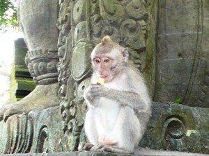 rundreise-bali-erlebe-indonesien-Ubud-monkeyforest-affe-300x225
