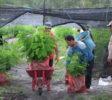 Abholung von Setzlingen in der Baumschule von Kleinbauern (1) (1)