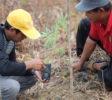 Anpflanzen von Setzlingen auf dem Feld (2) (1)