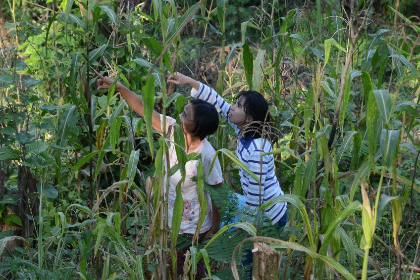 Feldberatung einer Bäuerin, Sengon mit Mais