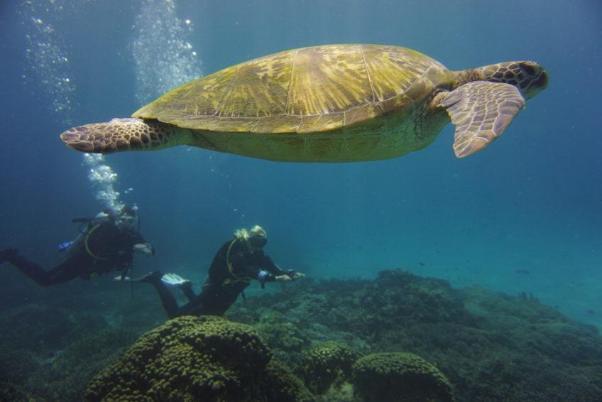 Tauchen-Komodo-Nationalpark-schildkröte-und-taucher
