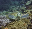 Tauchen-Komodo-Nationalpark-turtle
