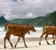 kura-kura-surfcamp-kuta-lombok-kuehe