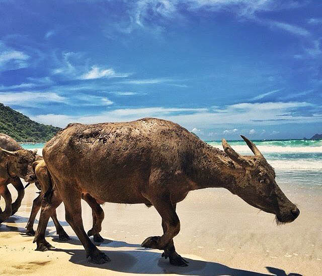 kura-kura-surfcamp-kuta-lombok-waterbuffolo
