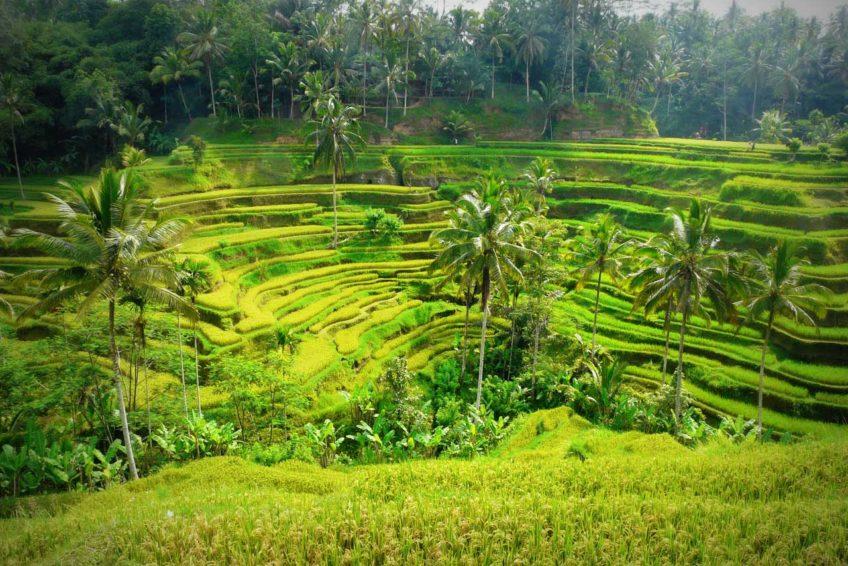 rundreise-bali-erlebe-indonesien-Reisterrassen