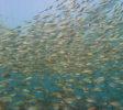 school fish
