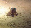 wunderpus-liveaboard-bobtail-squid