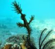 wunderpus-liveaboard-komodo-ghost-pipefish