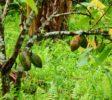 Kakaobaum-Jatiluwih