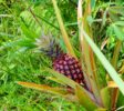rote-Ananas-jatiluwih