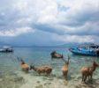 Rehe auf Menjangan Island
