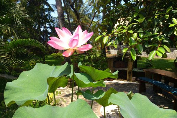 Lotusblüte im Garten