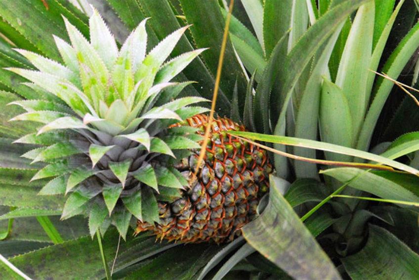bogani-homestay-ananas