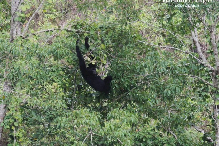 Barumun Nagari Wildlife Sanctuary gibbon