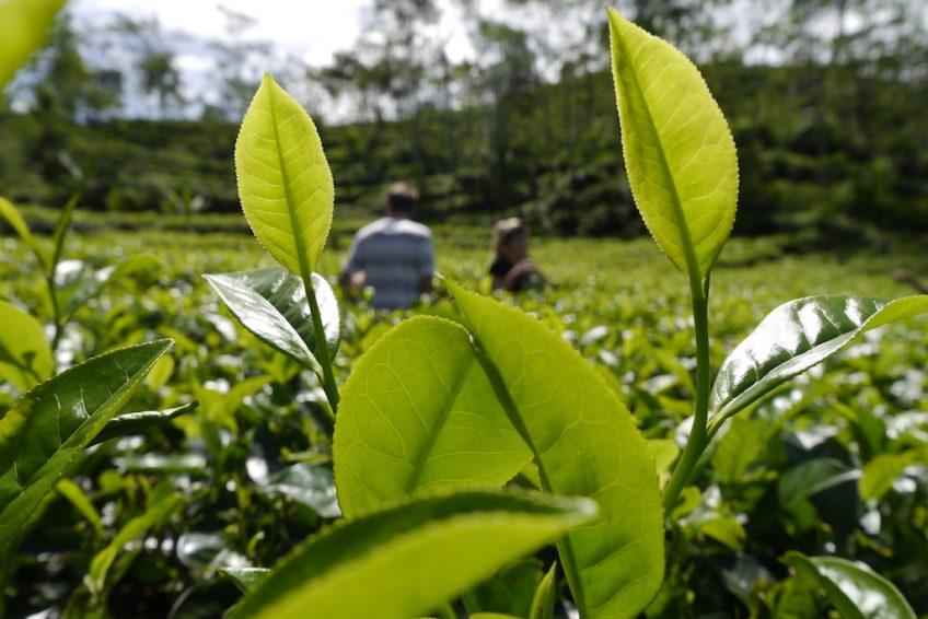 Nglinggo-tea-plantation-yogyakarta-1