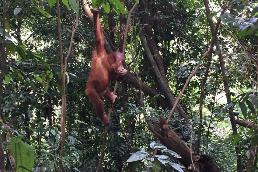 Orang-Utan Sumatra Rundreise